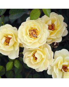 Rosa 'Bijenweelde geel'