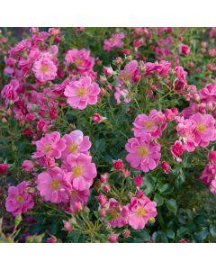 Rosa 'Bijenweelde roze'