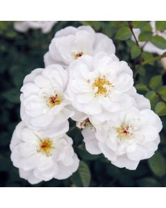 Rosa 'Bijenweelde wit'