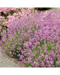 Roze lavendel (Lavandula ang.Rosea)
