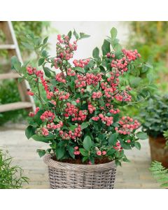 Bosbes 'Pinky Berry'