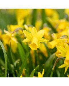 Biologische bloembol Narcis 'Tête-à-Tête' - 10 stuks