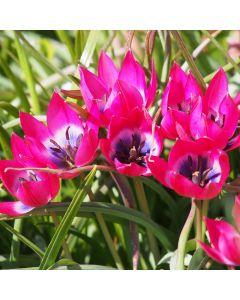 biologische bloembollen Tulp 'Little Beauty' - 10 stuks
