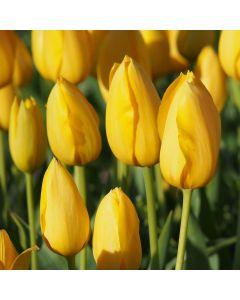Biologische Bloembol Tulp 'Muscadet'  - 10 stuks