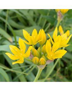 Biologische bloembol Goudlook - 10 stuks