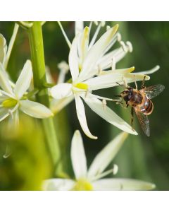 Biologische bloembol Prairielelie - 5 stuks