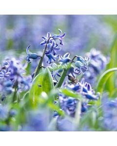 Biologische bloembol Spaanse boshyacint blauw - 10 stuks