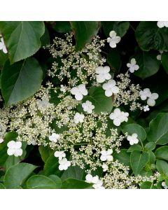 Klimhortensia (Hydrangea Petiolaris)