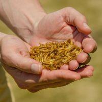 Gedroogde meelwormen pot 1800 ml
