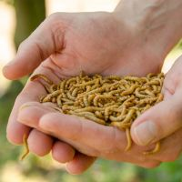 Levende meelwormen 100 gr