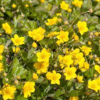 Waldsteinia goudaardbei