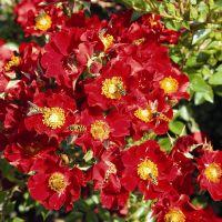 Rosa 'Bijenweelde rood'