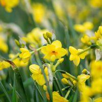 Biologische bloembol Narcis 'Martinette' - 10 stuks