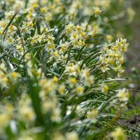 Biologische bloembol Narcis 'Minnow' - 10 stuks