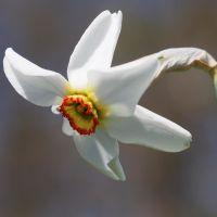 biologische bloembol Narcis 'Poeticus var Recruvus' - 10 stuks