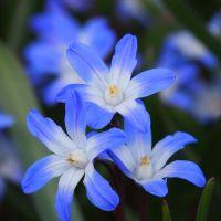 Biologische bloembol Sneeuwroem blauw - 10 stuks