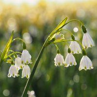 Biologische bloembol Zomerklokje - 5 stuks