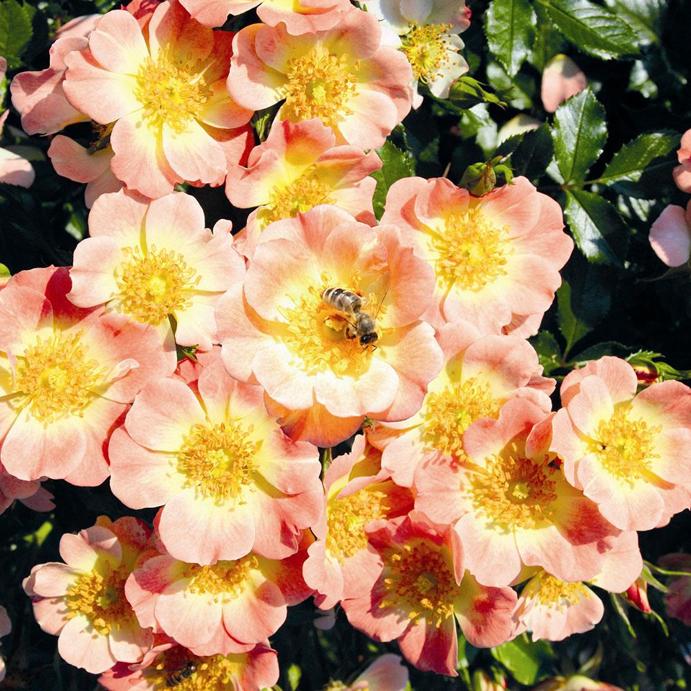 Rosa Bijenweelde Abrikoos