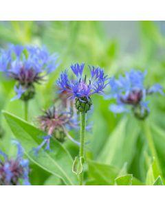 Korenbloem 'Grandiflora'