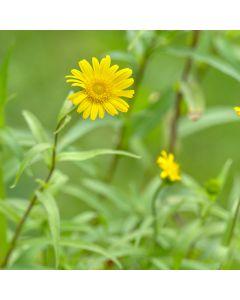 Koeienoog 'Buphthalmum salicifolium'