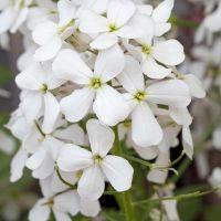 Damastbloem wit