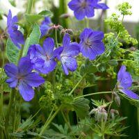 Blauwe geranium