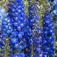 Ridderspoor (Delphinium Blue Bird)