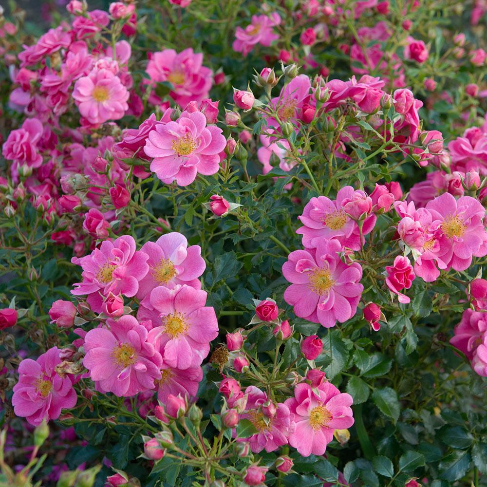Rosa Bijenweelde Roze